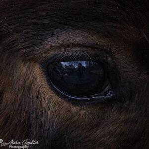 Horses/Chevaux